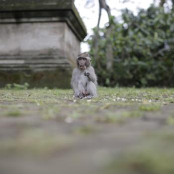 monkey-ubud