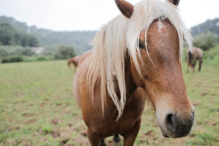 Horse, Menorca