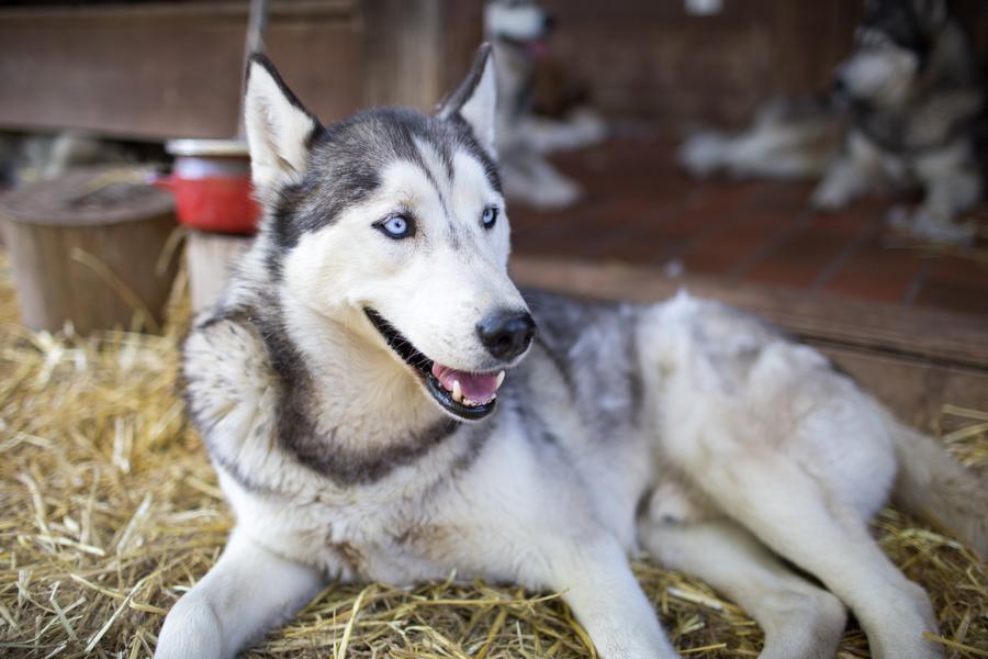 Tirol Husky