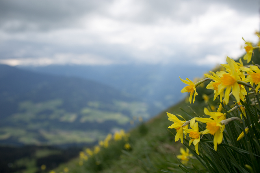 Daffodils on the mountainside