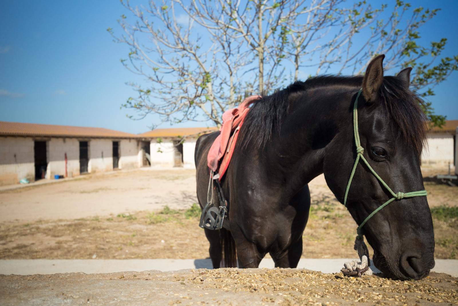 Menorcan Horse